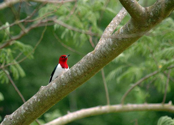 Red Headed Woodpecker Information