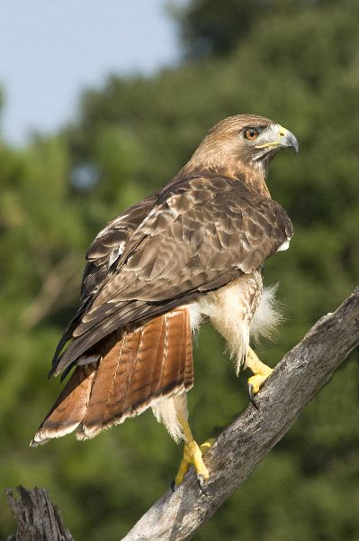 Red Tailed Hawk Facts