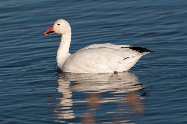 Snow Goose Facts