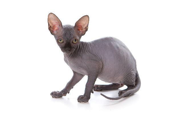 Sphynx - Family Felidae