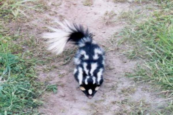 Spotted skunk Information