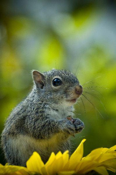 Squirrel - Family Sciuridae