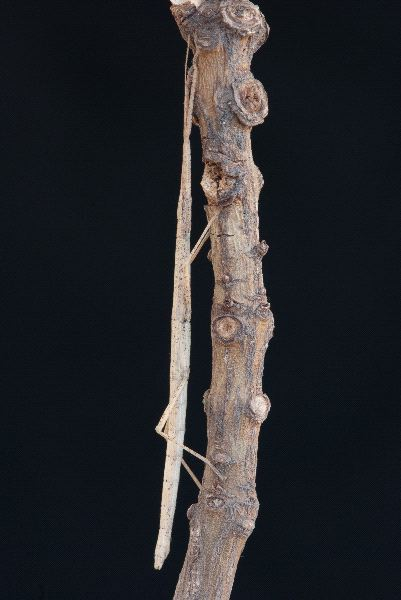 Stick Insect Facts