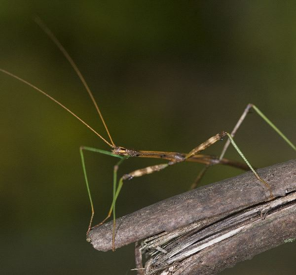 Stick Insect Information