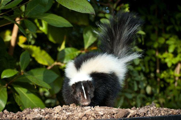 Striped skunk Information