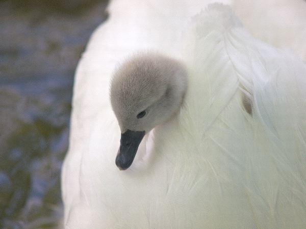 Swan - Genus: Cygnus