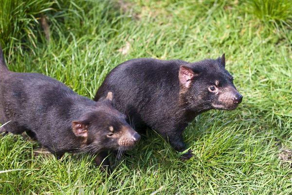 Tasmanian Devils Information