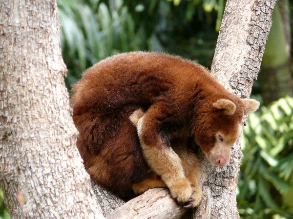 Tree Kangaroo Information