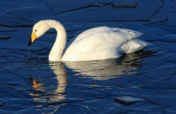 Tundra Swan Facts