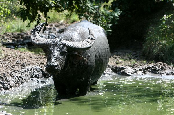 Water Buffalo Information