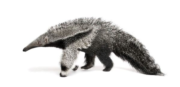 Giant Anteater Facts