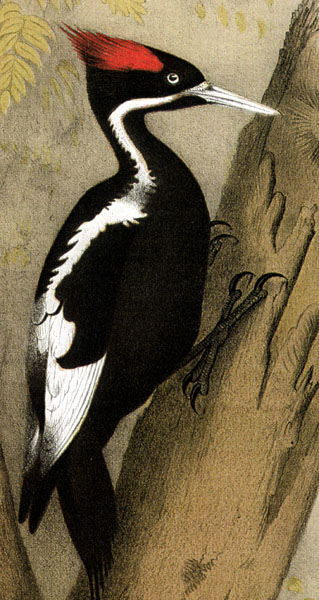 Ivory Billed Woodpecker Facts
