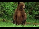 Alaska brown bear trapped