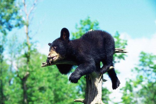 Bears in Human Culture