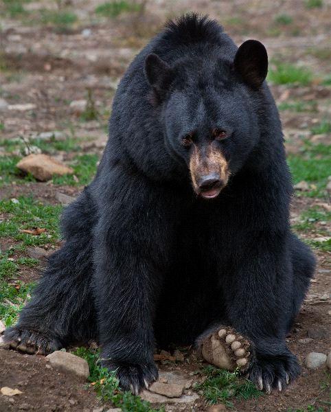 Bear Anatomy Facts