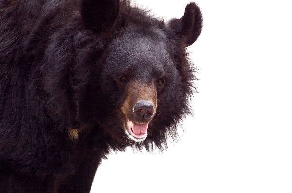 Asian Black Bear Facts