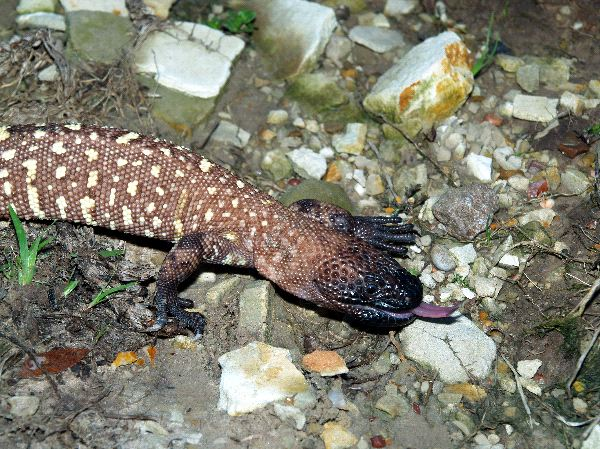 Beaded Lizard Facts