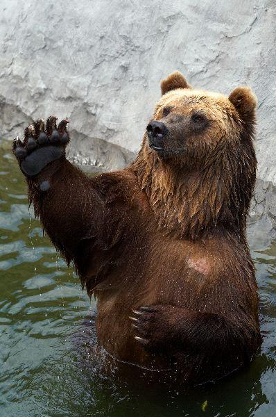Brown Bear Information