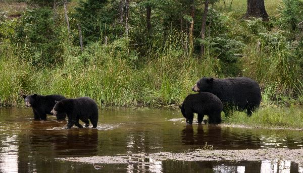 American Black Bears Information