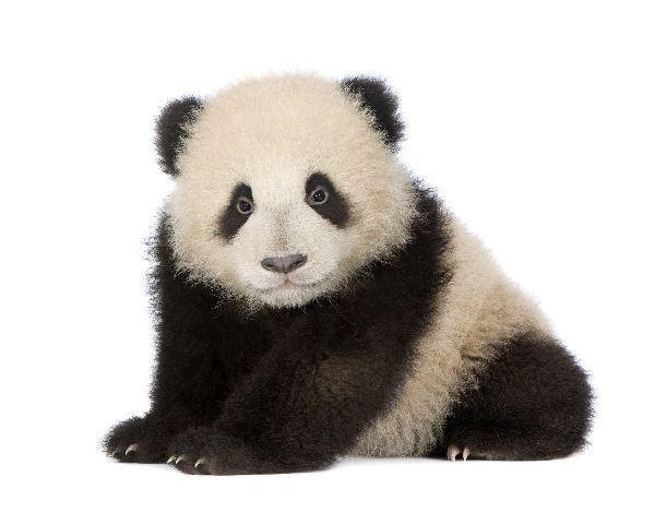 Giant Panda - Ailuropoda Melanoleuca