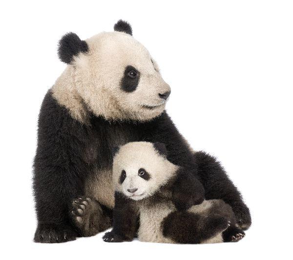Giant Panda Information