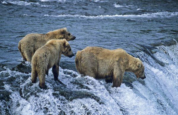 Bear Feeding Facts