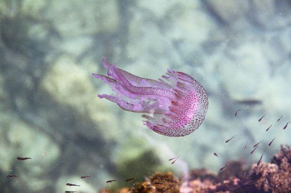 Jellyfish Pelagia noctiluca