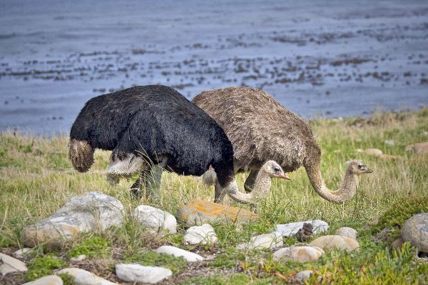Ostrich Diet and Feeding habits