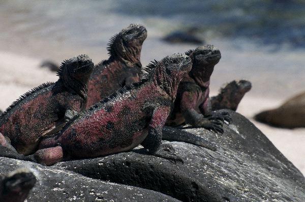Marine Iguana Galapagos Information