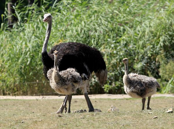 Ostrich Reproduction Facts