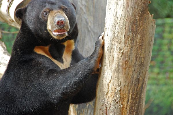 Sun Bear at Zoo