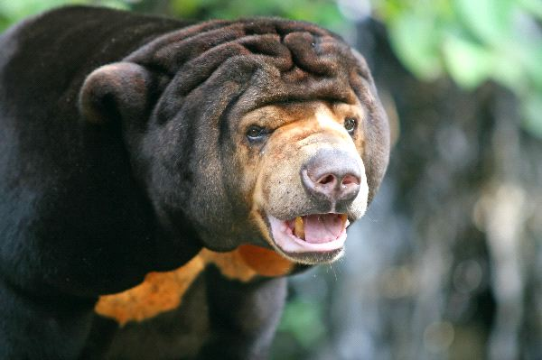 The Malayan Sun Bear Or Honey Bear Information
