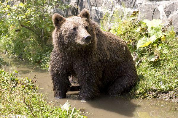 Bears Endangered