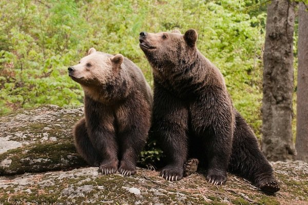 Information about bears