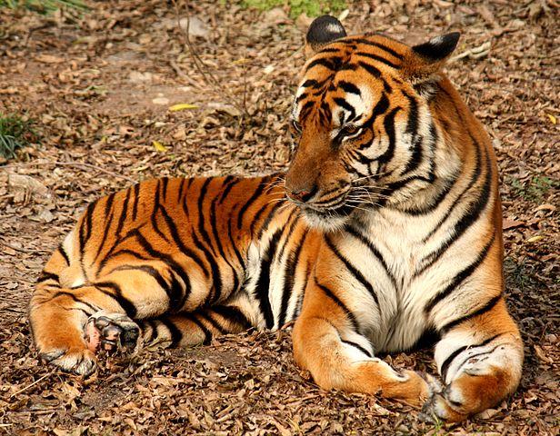 South China tiger - Panthera tigris amoyensis