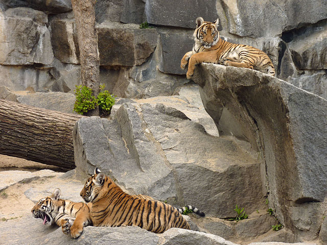 Indochinese tiger - Panthera tigris corbetti