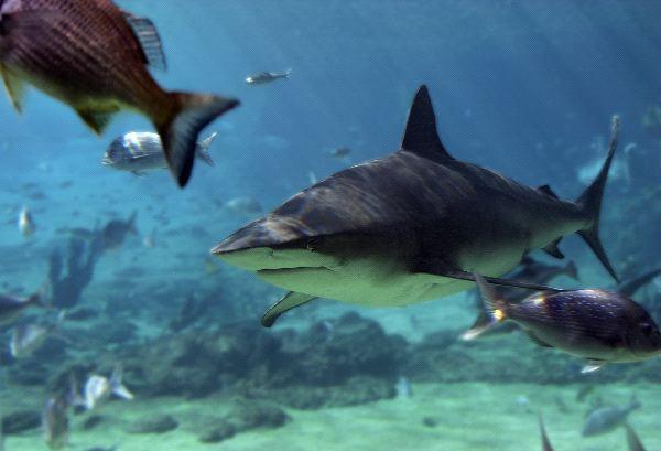 Bull Shark Information