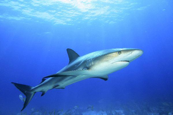 Caribbean Reef Shark - Carcharhinus perezii