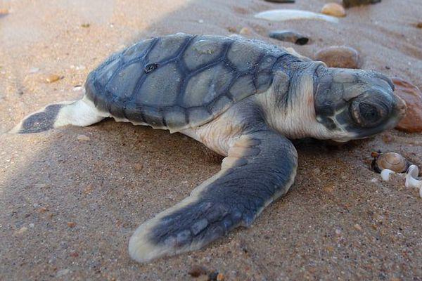 Flatback Sea Turtle - Natator depressus