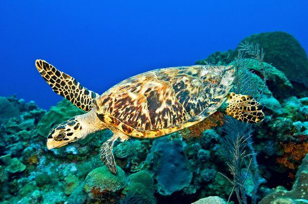 Hawksbill sea turtle Information