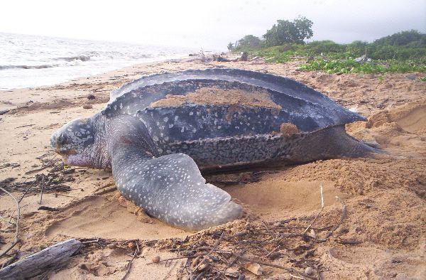 Leatherback sea turtle Facts