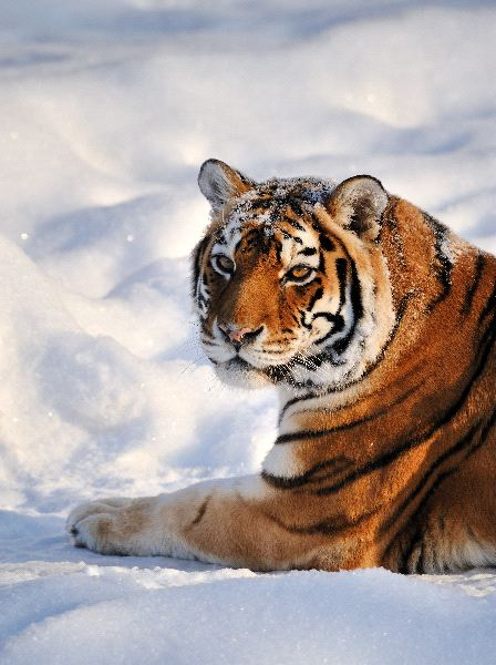 Siberian Tiger Facts and Information