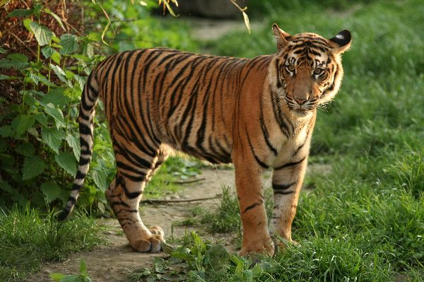 Sumatran Tiger Animal Facts And Information