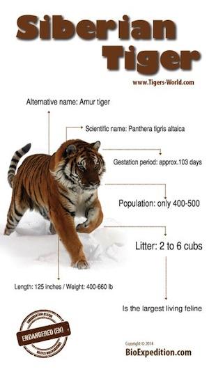 siberian-tiger-300