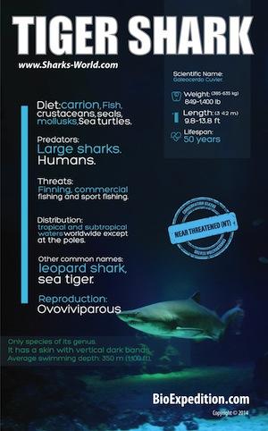 tiger-shark-300