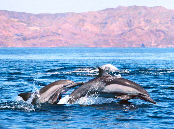 Common Dolphin - Genus Delphinus