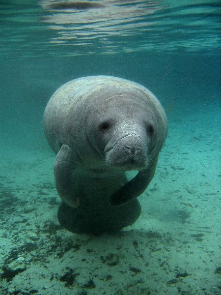 Types of Manatees