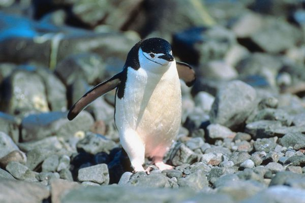 Chinstrap Penguin - Pygoscelis antarcticus