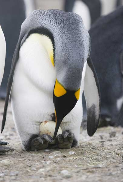 Penguin Reproduction Facts