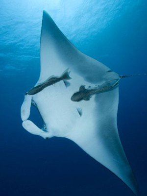 Reef-Manta-Picture